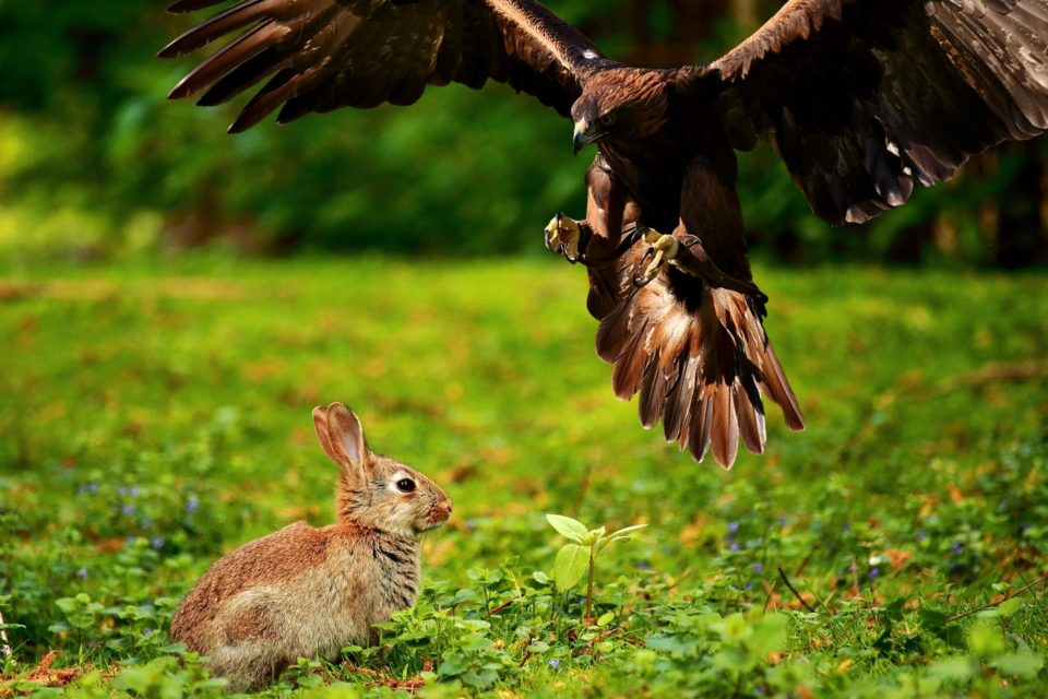 Kaninchenjagd